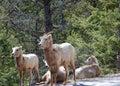 Cabras de montaña Foto de archivo