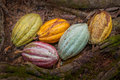 Cacao beans of various colours Royalty Free Stock Image