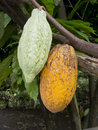 Cacao Fruit Royalty Free Stock Photo