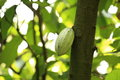 Cacao fruit grow on tree green Royalty Free Stock Images