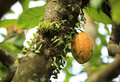 Cacao fruit grow on tree green Royalty Free Stock Photos