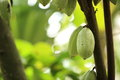 Cacao fruit grow on tree green Royalty Free Stock Photo