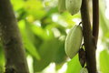 Cacao fruit grow on tree green Royalty Free Stock Image