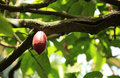 Cacao fruit grow on tree green Stock Photography