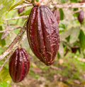 Cacao fruit theobroma hanging from the tree in southern ecuador Stock Image