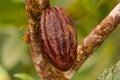 Cacao fruit the of the tree theobroma ecuador Royalty Free Stock Photography