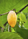 Cacao fruits on the tree Royalty Free Stock Image
