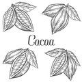 Cacao Hand drawn. Cocoa botany vector illustration set. Doodle of healthy nutrient food. Cacao engraving sketch etch line. Organic