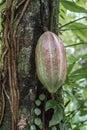 Kakao na kakao strom,