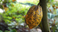 Cacao plant cocoa pod growing on a tree in mexico Royalty Free Stock Photography