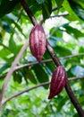 Cacao pod on the tree mexico Royalty Free Stock Photo