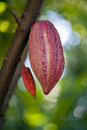 Cacao pod on tree theobroma stage of ripening Royalty Free Stock Photography