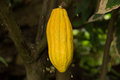Cacao tree a photograph of a mature yellow fruit called a pod of a the theobroma also cocoa is a small Stock Photos