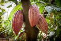 Cacao Tree Theobroma cacao. Organic cocoa fruit pods in nature Royalty Free Stock Photo