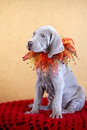 Cachorrinho do azul de weimaraner Imagem de Stock Royalty Free