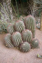 Cacti in arid environment Stock Image