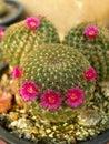 Cacti flower closeup shot of pink Stock Images