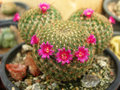 Cacti flower closeup shot of pink Royalty Free Stock Photography