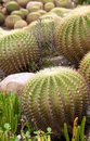 Cacti plants Royalty Free Stock Photography