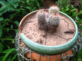 Cacti in pot image of potted garden Stock Photography