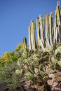 Cacti punta teno tenerife canary islands spain Royalty Free Stock Photography