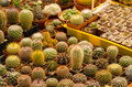 Cacti in rows for sale beautiful small green and yellow Stock Image