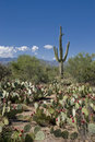 Cacti in the Sonoran Desert Stock Photos