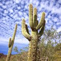Saguaro cactus against blue Arizona sky Royalty Free Stock Photo