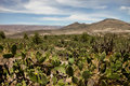 Cactus In The Andes Royalty Free Stock Photography