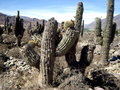 Cactus in argentina field at ancient indigenous ruins tilcara canyon department of jujuy south america Stock Image