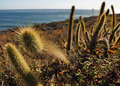 Cactus from baja california Stock Image