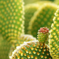 Cactus blossom Royalty Free Stock Image