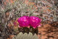 Cactus Blossom, Valley of Fire, Nevada, USA Royalty Free Stock Photo