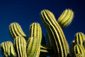 Cactus on Blue Sky Royalty Free Stock Images