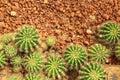 Cactus in a Cactus garden top view. Royalty Free Stock Photo