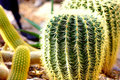 Cactus close-up Royalty Free Stock Photography