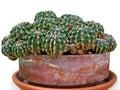 Cactus close-up. Royalty Free Stock Photo