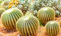 Cactus close up of globe shaped with long thorns Royalty Free Stock Photos
