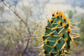 Cactus close up of south texas prickly pear real name opuntia engelmannii Royalty Free Stock Photo
