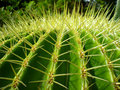 Cactus closeup Stock Photography