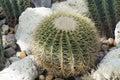 Cactus de chin ps de gymnocalycium Photo stock
