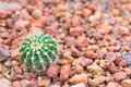 Cactus in desert  for background or wallpaper Royalty Free Stock Photo