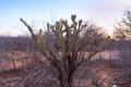 Cactus and dry vegetation at sunset Royalty Free Stock Photo