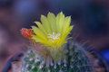 Cactus flower clouse up beatiful Stock Images