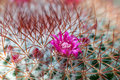 Cactus flower mammillaria cloe up Royalty Free Stock Images
