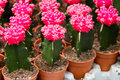 Cactus flower in the pot Stock Photography