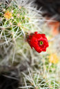 Cactus Flower in Southwestern Desert Royalty Free Stock Photo