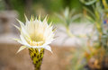 Cactus flower yellowish blooming isolated from background Royalty Free Stock Photography