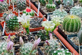 Cactus flowering a collection of cactuses in a garden Royalty Free Stock Photo