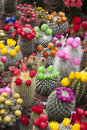 Cactus Flowers, Amsterdam Royalty Free Stock Photo